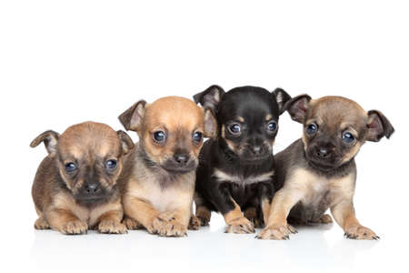 chiwawa: Group of Toy Terrier puppies on a white background