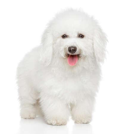 白い背景の上のビションフリーゼ犬