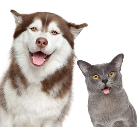 Happy Husky dog and grey Burma cat, isolated on white background