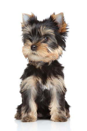 yorky: Yorkshire terrier puppy  Portrait on a white background Stock Photo