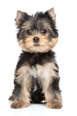 Yorkshire terrier puppy  2,5 month   Portrait on white background