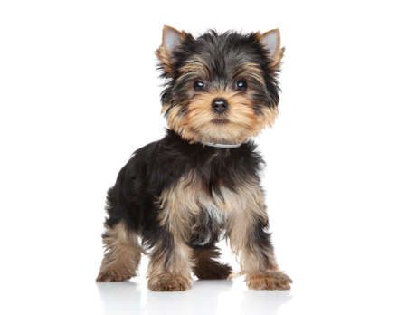 Yorkshire terrier puppy stand on a white background Stock Photo