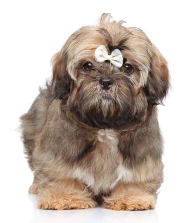 shihtzu: Shih-tzu puppy posing on a white background
