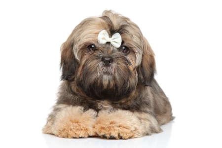shihtzu: Shih tzu puppy in white bow posing on a white background
