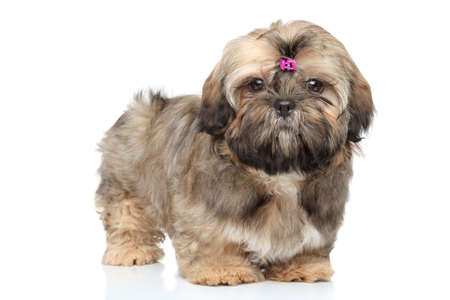 shihtzu: Shih-tzu puppy portrait on white background Stock Photo