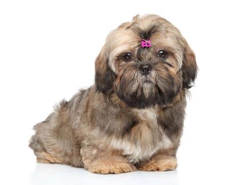 shihtzu: Shih-tzu puppy sits on a white background