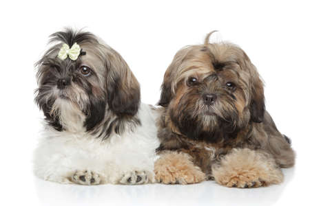 Shihtzu puppies lying on white background photo