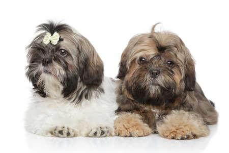 shihtzu: Shihtzu puppies lying on white background