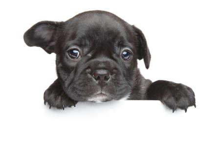 French bulldog puppy above white banner