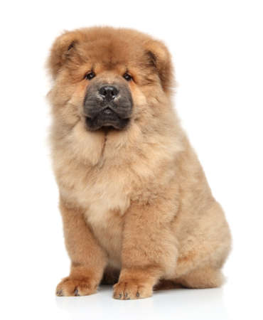 long haired: Brown Chow-chow puppy  Portrait on white background