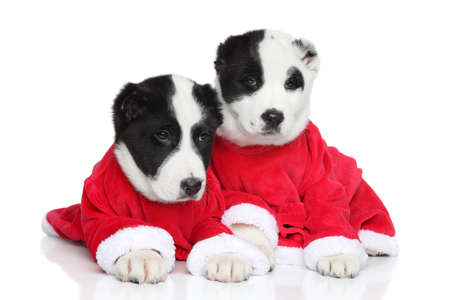 alabai: Central Asian Shepherd puppies in red clothes posing on white background