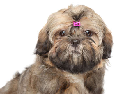shaggy: Shih tzu puppy portrait isolated on a white background Stock Photo