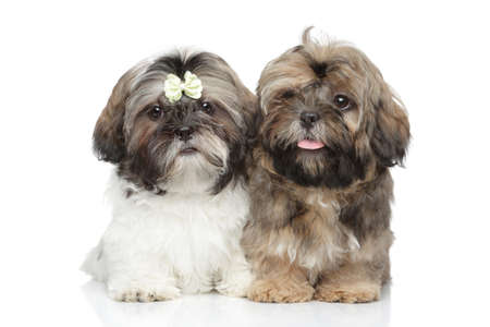 shihtzu: Shih-tzu Puppies Stock Photo
