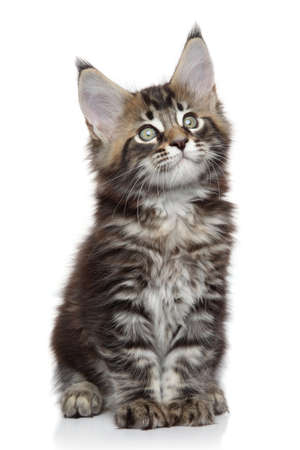 coon: Cute Maine Coon kitten on a white background