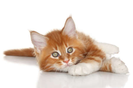 Maine Coon kitten posing on white background