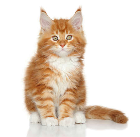 coon: Maine Coon kitten sits on a white background Stock Photo