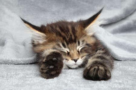 coon: Maine Coon kitten sleep under blanket