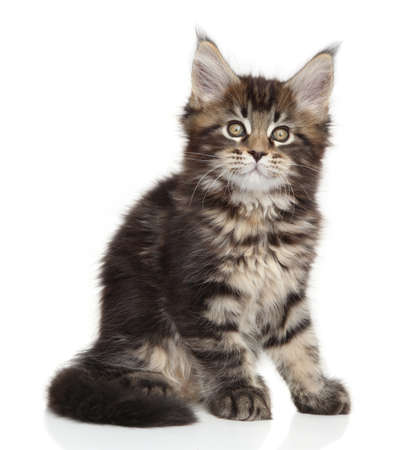 coon: Maine Coon kitten sits on white background Stock Photo