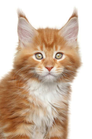 coon: Maine Coon kitten  Close-up portrait on white background Stock Photo