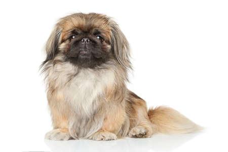 狆犬。白い背景の上のスタジオ ポートレート