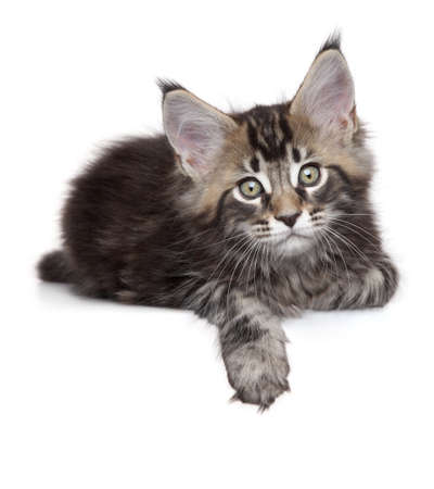 coon: Maine Coon kitten lying, with his paw over white banner Stock Photo