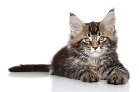 coon: Maine coon kitten lying on a white background