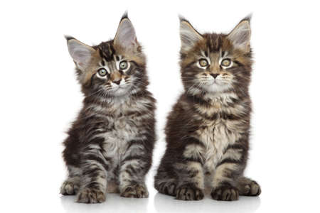 coon: Two Maine Coon kittens. Portrait on a white background