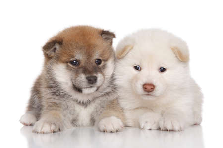 two months: Portrait of a Shiba inu puppies on a white background Stock Photo
