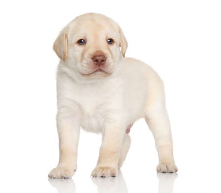 Golden retriever puppy posing on a white background photo