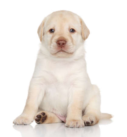 Golden Retriever puppy sits. Portrait on a white background photo