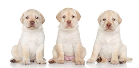 Group of Labrador retriever puppies on a white background photo