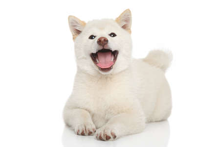 Happy Shiba-inu puppy posing on white background