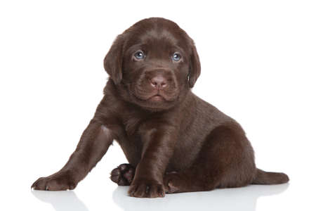 Chocolate Labrador puppy sits on a white background Stock Photo