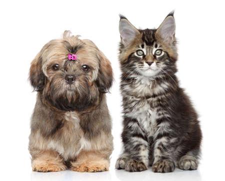 shih tzu: Shitzu puppy and Maine Coon kitten on white background