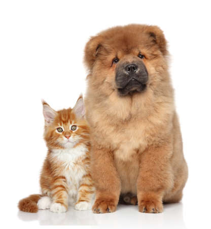 chow: Maine Coon kitten and Chow Chow puppy. Portrait on white background Stock Photo