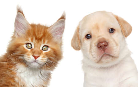 Maine Coon kitten and Labrador puppy. Close-up portrait on white background