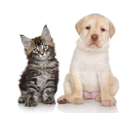 puppy and kitten: Maine Coon kitten and Labrador puppy. Portrait on white background Stock Photo