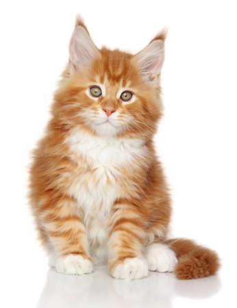 メインクーンの子猫。白い背景の上の肖像画