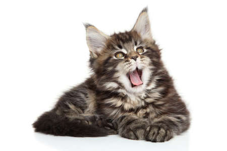 coon: Maine Coon kitten yawn. Portrait on white background