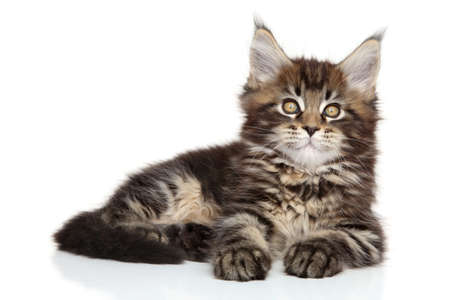 coon: Maine Coon kitten posing on white background