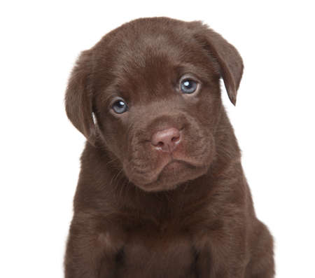 Chocolate Labrador retriever puppy. Close-up portrait on a white background
