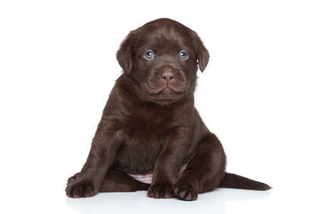 Chocolate Labrador puppy posing on a white background photo
