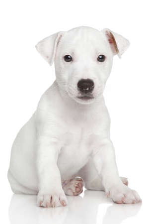 studioshot: Jack Russell puppy sits on white background