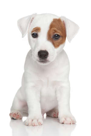 Jack Russell terrier puppy sits on white background Фото со стока