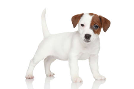 studioshot: Jack Russell puppy standing on white background Stock Photo