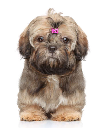 shihtzu: Chinese Shih tzu puppy  Close-up portrait on white background Stock Photo