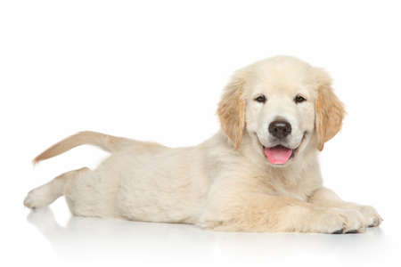 Golden Retriever puppy posing on white background