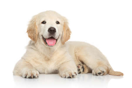 Golden Retriever puppy, 3 months old, lying on white background