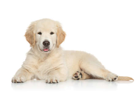 Golden Retriever puppy lying on white background photo