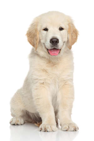 ゴールデン ・ リトリーバーの子犬。白い背景の上の肖像画 写真素材
